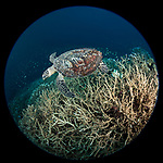 Russell Islands, Solomon Islands; a circular view of a Hawksbill turtle swimming over a field of staghorn corals with an aggregation of reef fish in the background