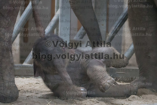 Three days old captive born baby elephant is introduced to members of the media the first time after its mother Angele gave birth on 8th November in the City Zoo in Budapest, Hungary on Nov. 10, 2017. ATTILA VOLGYI