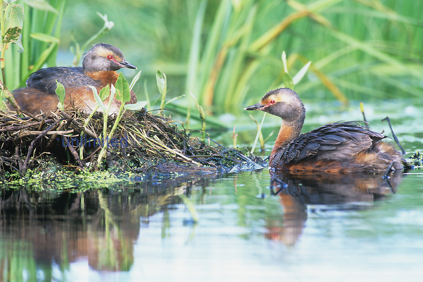 Pair of Horned Grebes at their nest (Podiceps auritus), North America.
