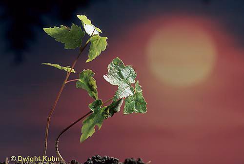 TT12-031h  Phototropism - red maple seedlings bending towards light - Acer rubrum