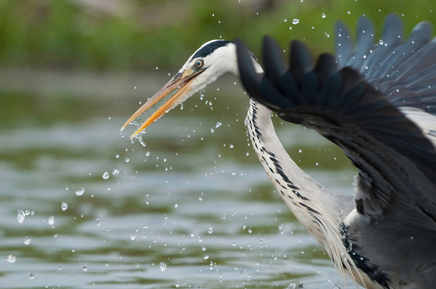 Grey Heron fishing (Ardea Cinerea), Fisher pond, Prypiat area, Belarus