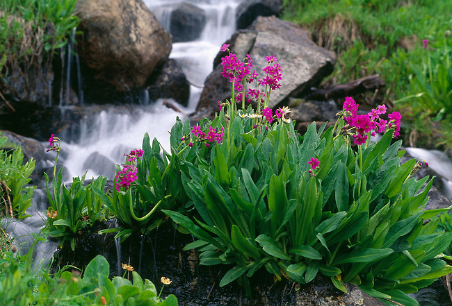 Spring growth of parry primrose along a mountain strem in Indian Peaks Wilderness, CO