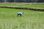 A farmer works his rice paddy near Hoi An, Vietnam. Jan. 15, 2013.