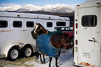 Competitors' horses wait near horse trailers at the Whitefish Skijoring World Championship event in Whitefish, Montana, USA.  Skijoring is a competitive sport in which a person on skis navigates an obstacle course while being pulled behind a galloping horse.