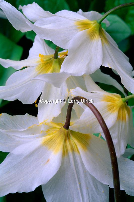 Avalanche lily<br /> Bench lake Trail<br /> Mt. Rainier National Park<br /> Cascade Range,  Washington