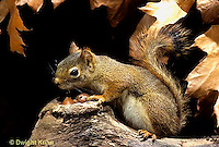 MA07-035z   Red Squirrel - sitting by tree cavity with acorns - Tamiasciurus hudsonicus