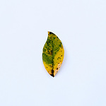 Leaf against a white background