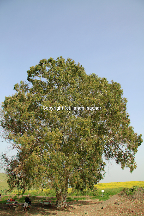 Israel, Lower Galilee, Eucalyptus tree in Ein Sarona