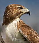 """Red-tailed Hawk"", Missouri"