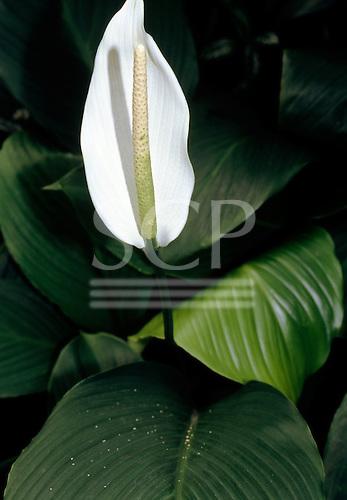 Brazil. White Anthurium sp.