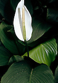 Brazil. White Anthurium sp.