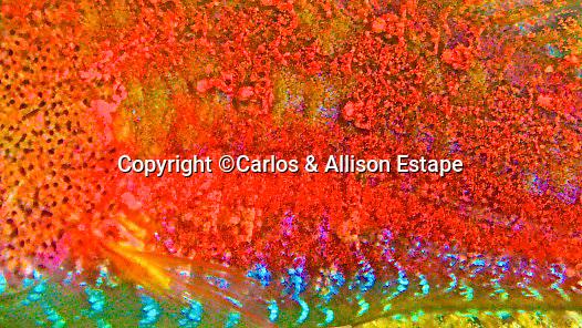Sparisoma atomarium, Greenblotch parrotfish, Exuma, Bahamas