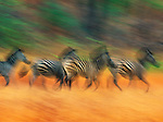 Burchell's Zebra race across an open plain within Zimbabwe's forested Matetsi's River region. A long exposure accentuates the graceful motion of the troupe.