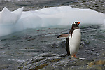 A gentoo penguin stands on the shore of Neumayer Channel in Antarctica.