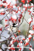 01299-031.09 Carolina Chickadee (Poecile carolinensis) in Common Winterberry (Ilex verticillata) in winter, Marion Co. IL