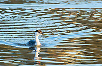 Western Grebe, Aechmophorus occidentalis, swims on Upper Klamath Lake, Oregon