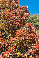 Nyssa sylvatica 'Dirr Selection' Black Gum tree in autumn color