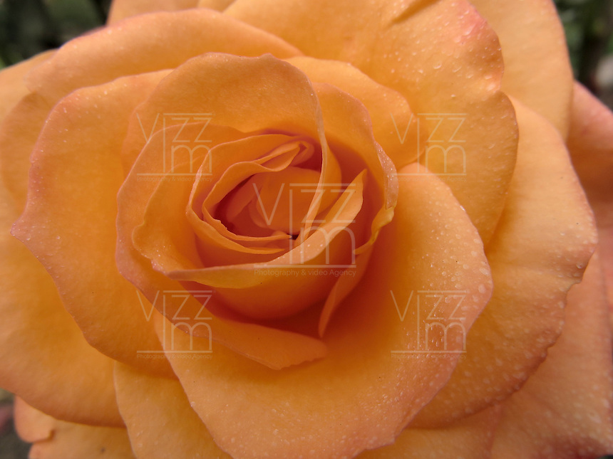 BOGOTÁ-COLOMBIA-15-01-2013. Rosa naranja, rosa Ury. Rose orange, Rose Ury.  (Photo:VizzorImage)