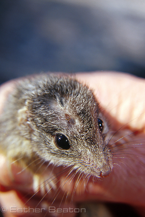 State Forests researcher holding re-captured yellow-fotted antechinus marked with trimmed fur. Whiporee, northern NSW