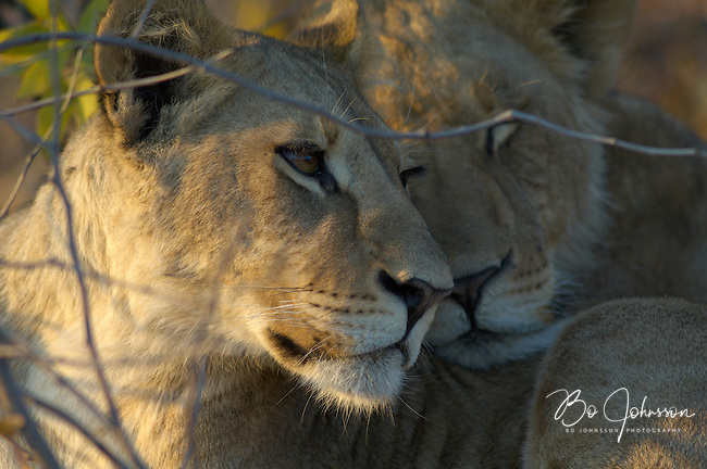 Sleepy young lionesses (panthera leo) in the early morning light.<br /> The Khwai side of Moremi in the Okavango Delta, Botswana. <br /> September 2007.