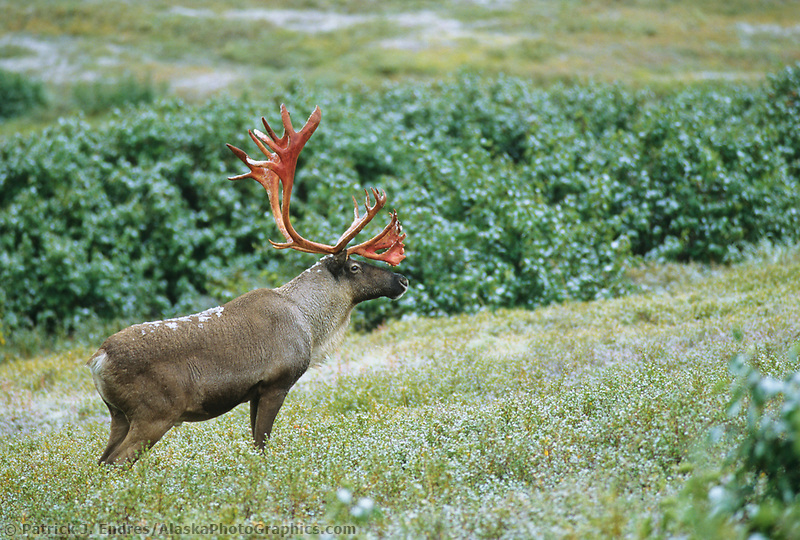 Bull Caribou stands on a tundra, fresh snowfall, autumn, Denali National Park, Alaska