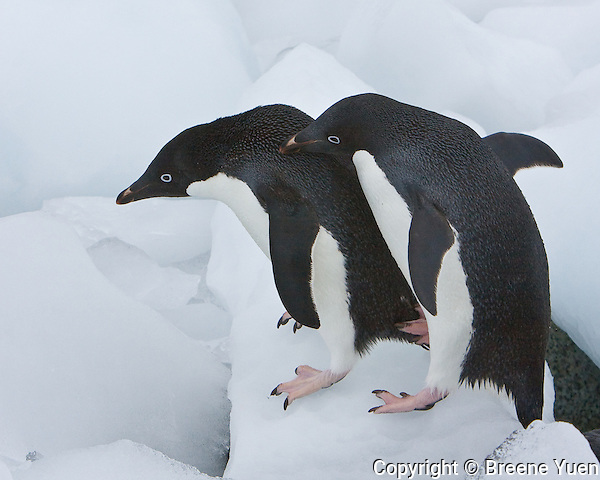 Adelie penguins negotiate obstacles on the beach to get back to their nests, Ronge Island, Antarctic Peninsula, November 2007