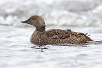 King Eider - Somateria spectabilis - female breeding