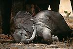 African elephants, Tarangire Natioanl Park, Tanzania