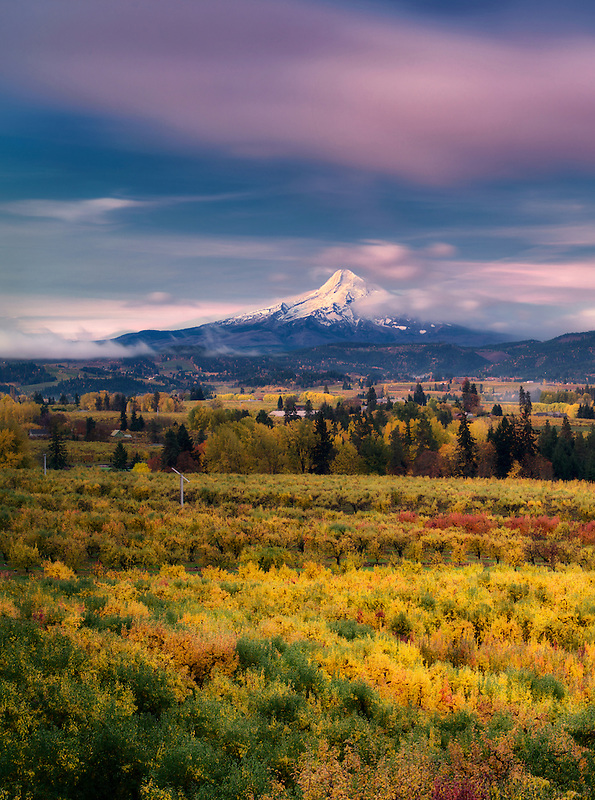 Fruit orchards in fall color with Mt. Hood. Hood River Valley, Oregon