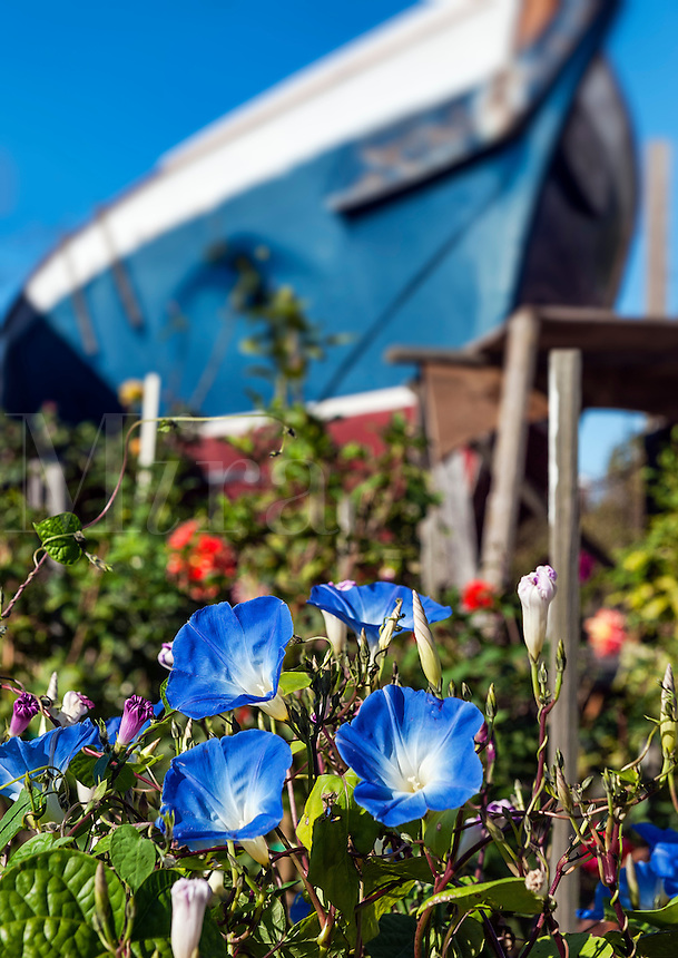 Garden Morning glory with tall boat in the background, Provincetown, cape Cod, Massachusetts, USA