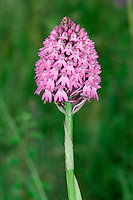 PYRAMIDAL ORCHID Anacamptis pyramidalis (Orchidaceae) Height to 30cm. An attractive orchid of dry grassland and usually associated with calcareous soils and stabilised sand dunes. FLOWERS are deep pink and have a 3-lobed lip and a long spur; they are borne in dense, conical or domed flower heads (Jun-Aug). FRUITS form and swell at the base of the flowers. LEAVES are grey-green, lanceolate and usually carried upright, partially sheathing the flower stem. STATUS-Locally common in parts of England, Wales and Ireland but commonest in the SE.