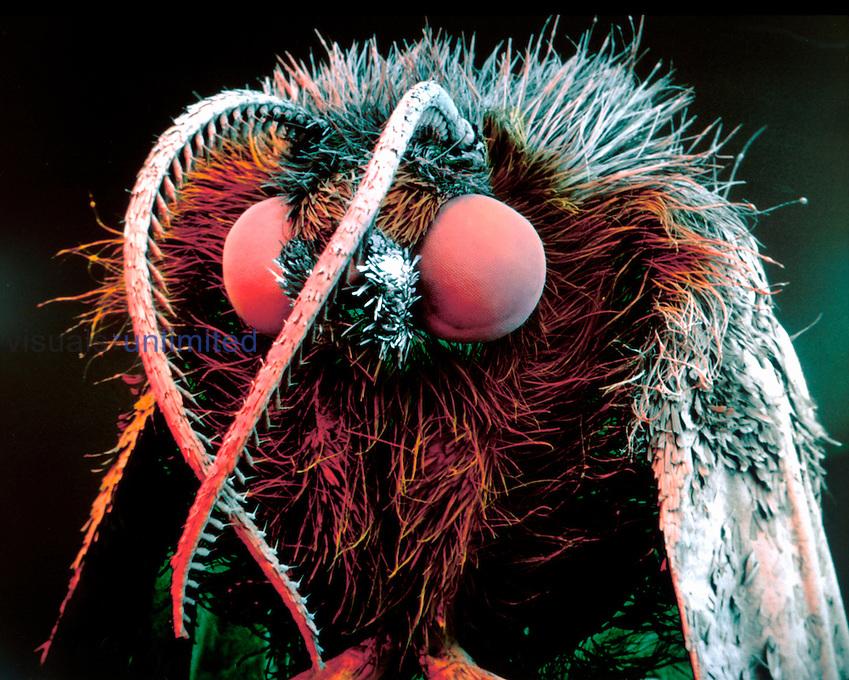 Nun Moth head (Lymantria monacha). SEM X12