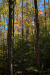 Autumn Hardwoods, Great Smoky Mountains NP