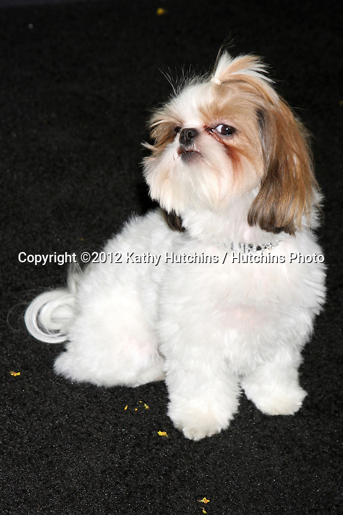 """LOS ANGELES - OCT 30:  Bonny the Shih Tzu  at the """"Seven Psychopaths"""" Premiere at Bruin Theater on October 30, 2012 in Westwood, CA"""