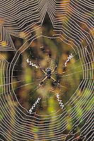Silver Argiope, Argiope argentata, female in web, Willacy County, Rio Grande Valley, Texas, USA, May 2004