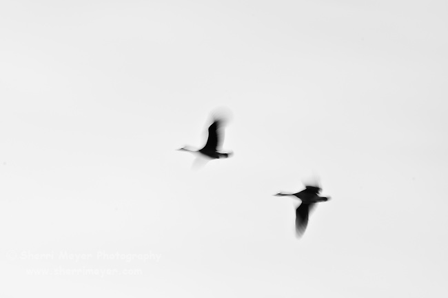Geese Abstract in Black & White.