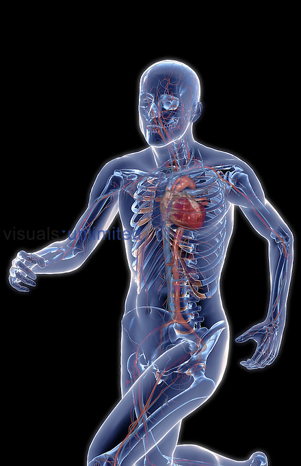 An image of a man running. The surface anatomy of the upper body is semi-transparent revealing the blood vessels beneath. (Anterolateral (left side) view.) Royalty Free