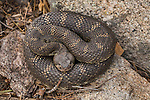 Northern Pacific Rattlesnake (Crotalus oreganus oreganus), Grand Canyon of the Tuolumne, Yosemite National Park, Sierra Nevada, California