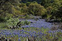Afternoon sun illuminates a Meadow of Texas Bluebonnets
