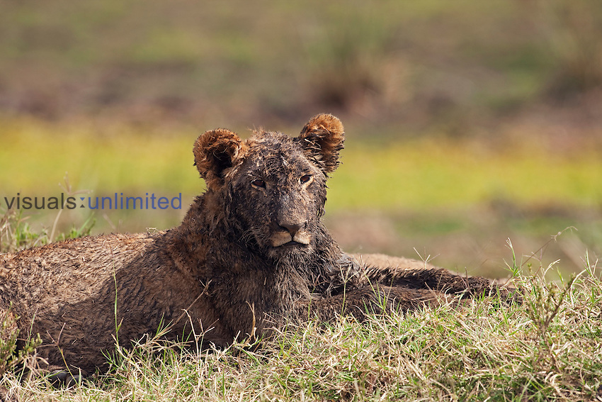 Lion cub with muddy after playing (Panthera leo), Maasai Mara National Reserve, Kenya.