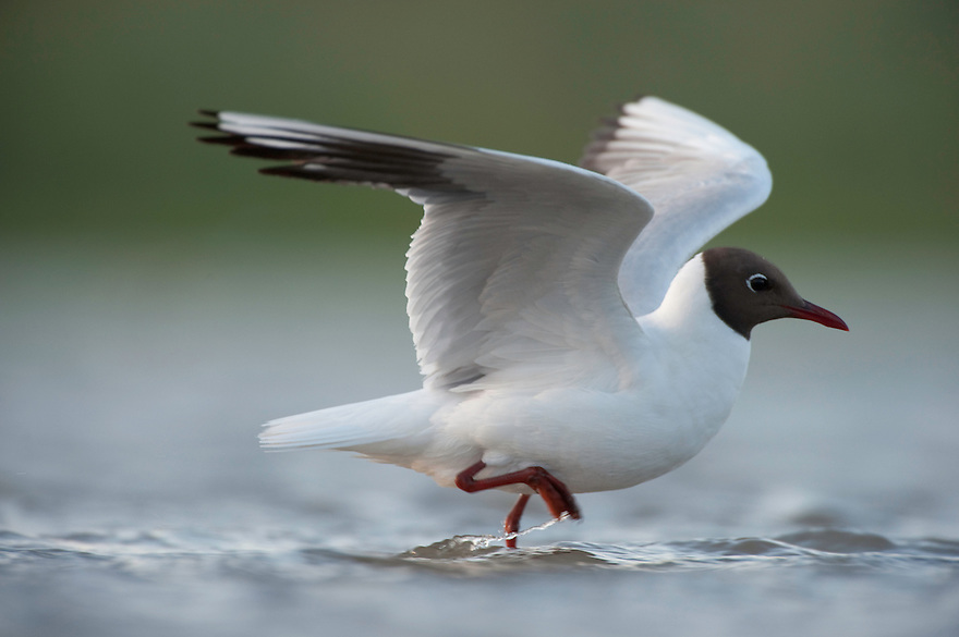 Black-headed Gull (chroicocephalus ridibundus) on lake Belau, Moldova
