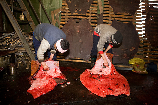 Yupik Eskimo women cleaning sealskins. New Chaplino, Chukotskiy Peninsula, Chukotka, Siberia, Russia