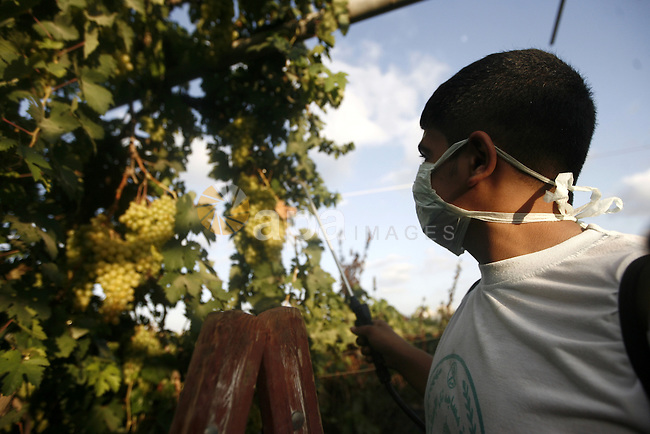 A Palestinian farmer sprays pesticides on the grapes from his land in Gaza city on July 17, 2013. Photo by Emad Nassar