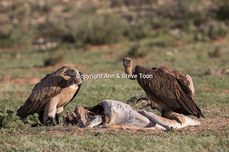 Whitebacked vultures (Gyps africanus) on carcass, Kgalagadi transfrontier park, South Africa, January 2017
