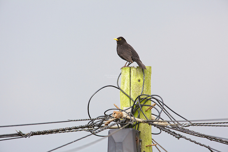 Blackbird (Turdus merula) Sitting on telephone exchange post, keeping an eye on it's territory. They are originally woodland birds but now widspread and can be found in Scrub, Arable Farmland, Pasture Farmland, Deciduous Woods. Bogs and moorland not so common.