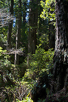Rain Forest, California Redwoods, Klamath, California