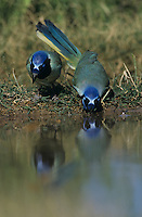 Green Jay, Cyanocorax yncas, pair drinking, Starr County, Rio Grande Valley, Texas, USA, March 2002