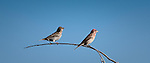 A pair of Purple Finches sitting on an arching branch