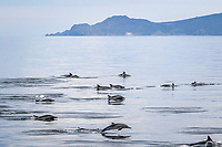 long-beaked common dolphin, Delphinus capensis, pod, jumping, Isla Carmen, Baja California Sur, Mexico, Gulf of California, Sea of Cortez, Pacific Ocean