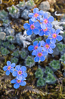 Mountain forget-me not blossoms close to the ground on Archimedes ridge, Utukok Uplands, National Petroleum Reserve, Alaska.